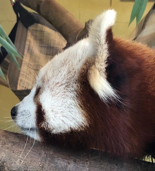 Red panda face