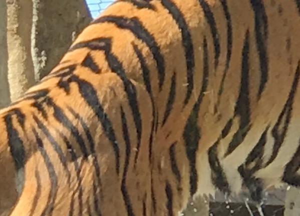 Tiger stripes2